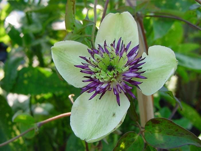 Clematis florida asian virgin 39 s bower for Clematis florida