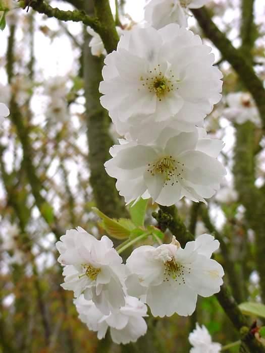 http://www.mytho-fleurs.com/images/prunus_japonais/pr%20abondance%20ce%20fleur.JPG