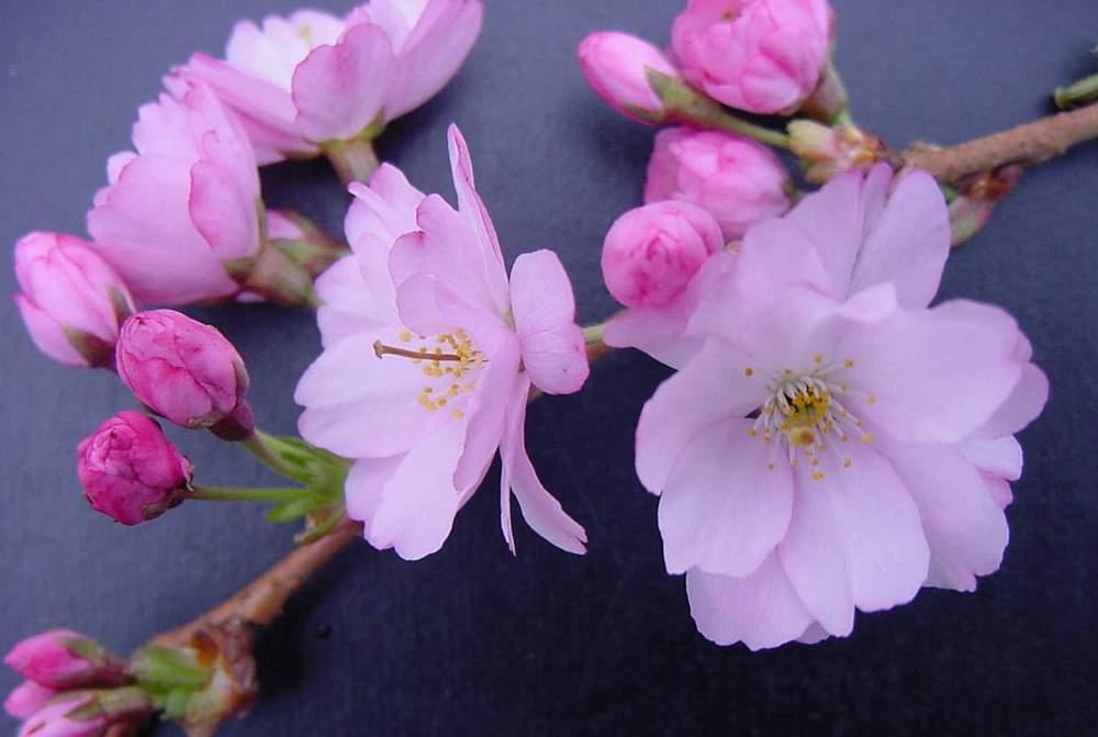 http://www.mytho-fleurs.com/images/prunus_japonais/pr%20accolade2.JPG