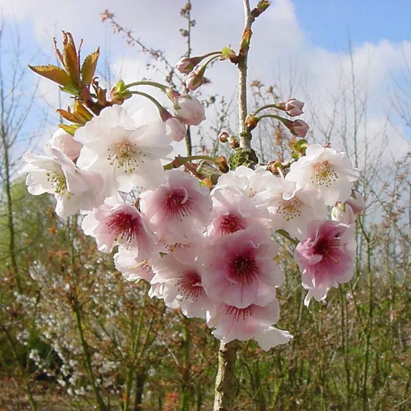 http://www.mytho-fleurs.com/images/prunus_japonais/pr%20clementine.JPG