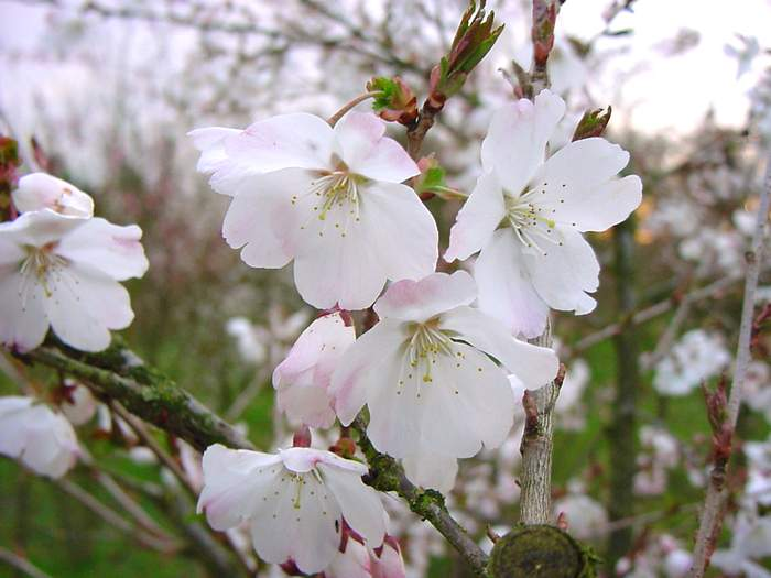 http://www.mytho-fleurs.com/images/prunus_japonais/pr%20inc%20the%20bride.JPG
