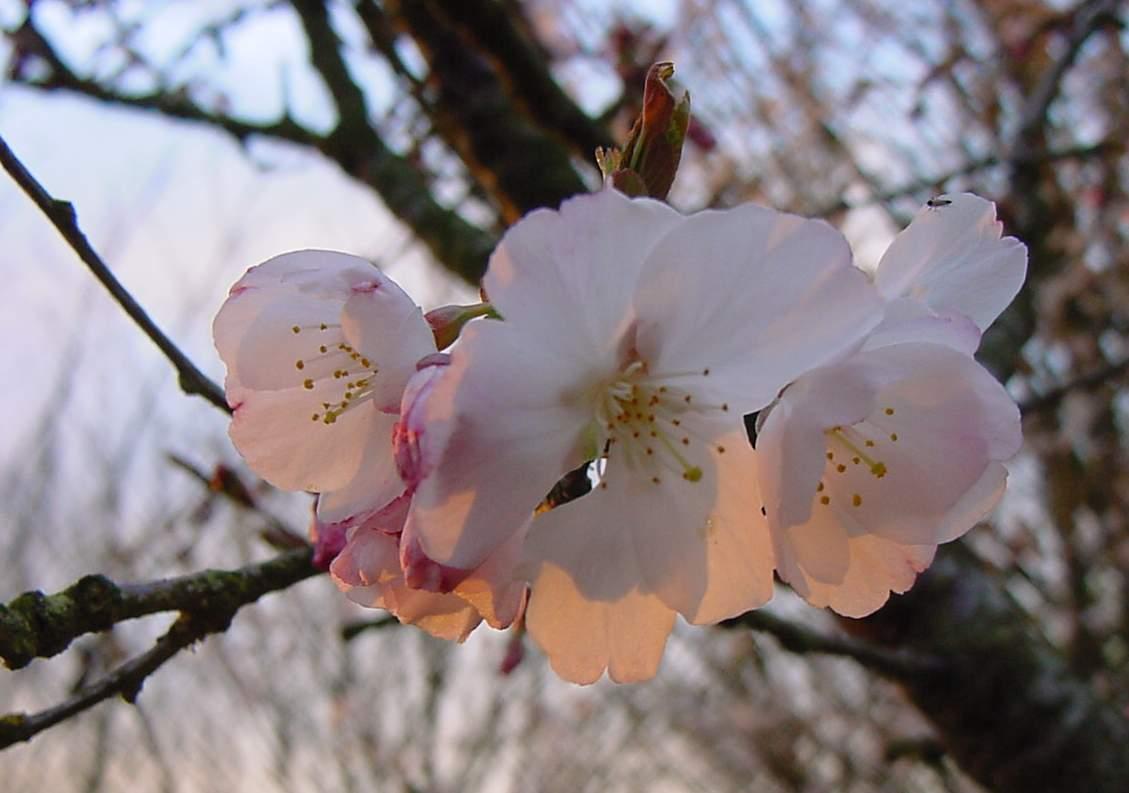 http://www.mytho-fleurs.com/images/prunus_japonais/pr%20minona%20fleur.JPG