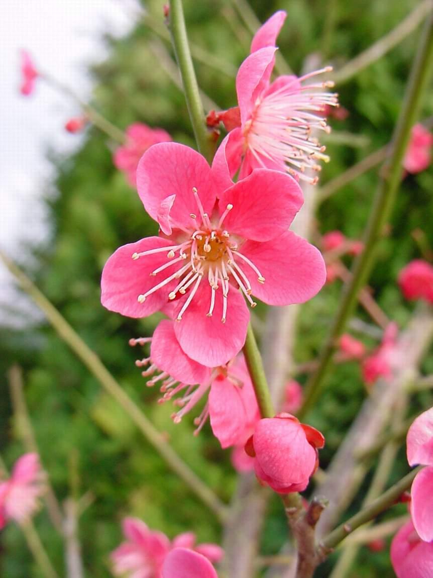 http://www.mytho-fleurs.com/images/prunus_japonais/pr%20mume%20beni%20shidori.JPG