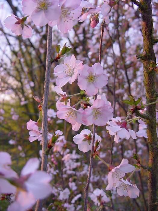 http://www.mytho-fleurs.com/images/prunus_japonais/pr%20nancy%20storace.JPG