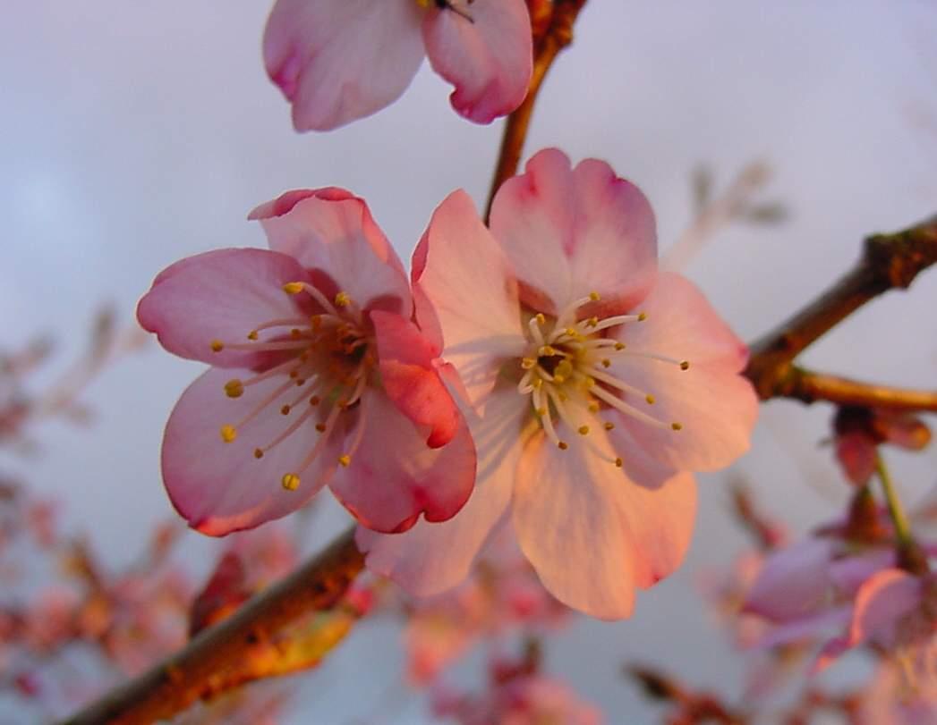 http://www.mytho-fleurs.com/images/prunus_japonais/pr%20pink%20favorite.JPG