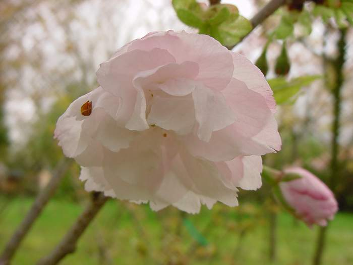 http://www.mytho-fleurs.com/images/prunus_japonais/pr%20ser%20okiku%20zakura.JPG