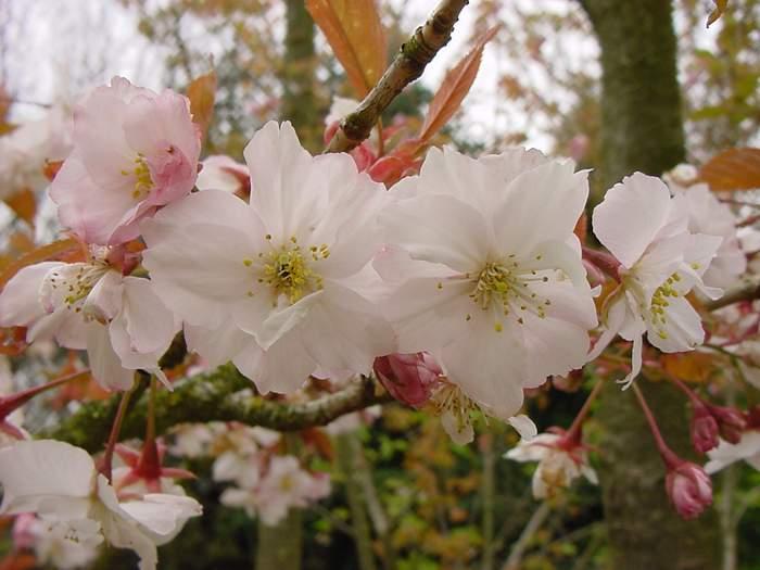 http://www.mytho-fleurs.com/images/prunus_japonais/pr%20ser%20tayoma%20ce%20fleur.JPG