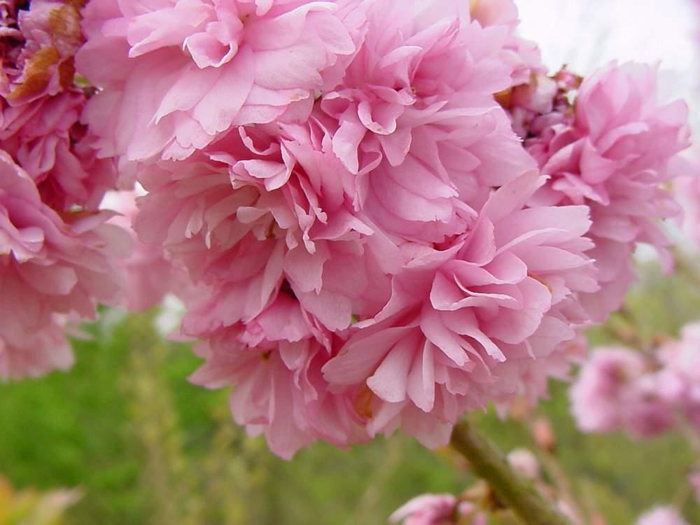 http://www.mytho-fleurs.com/images/prunus_japonais/pr%20serrulata%20asano.JPG
