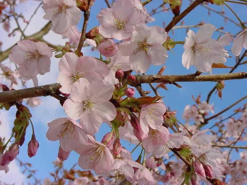 http://www.mytho-fleurs.com/images/prunus_japonais/pr%20serrulata%20benden.JPG