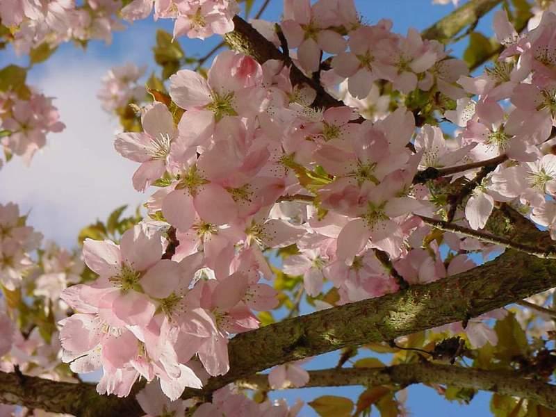 http://www.mytho-fleurs.com/images/prunus_japonais/pr%20yedoensis%20anouck.JPG