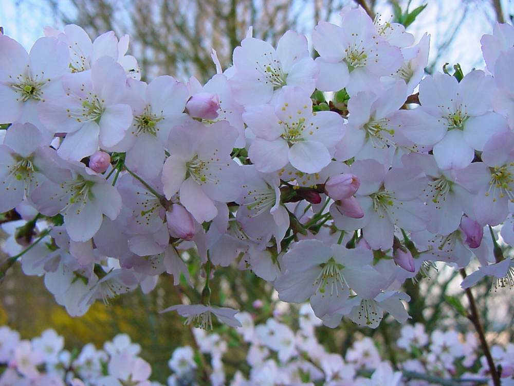 http://www.mytho-fleurs.com/images/prunus_japonais/pr%20yedoensis%20caroline.JPG