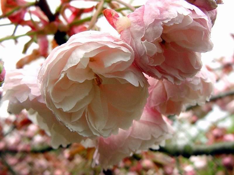 http://www.mytho-fleurs.com/images/prunus_japonais/prunus%20fugenzo.JPG