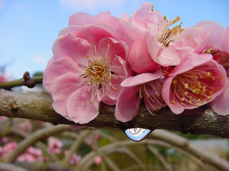 http://www.mytho-fleurs.com/images/prunus_japonais/prunus_mume_pend.JPG